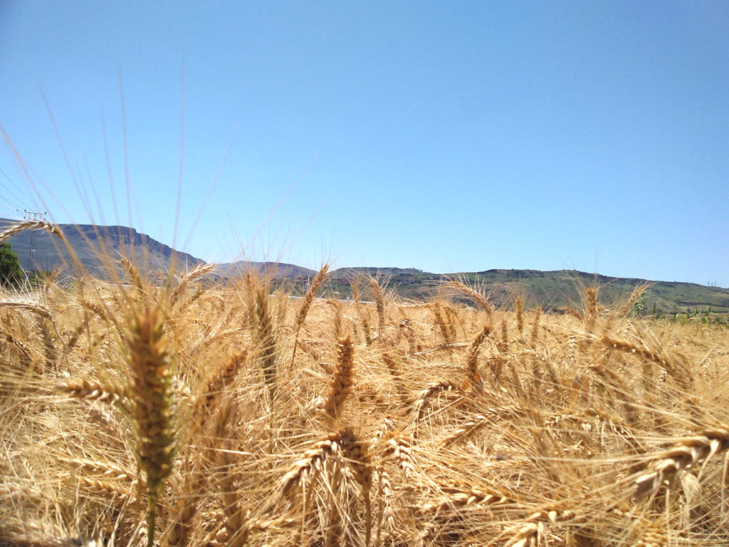 harvest and barley fields Sea of Galilee