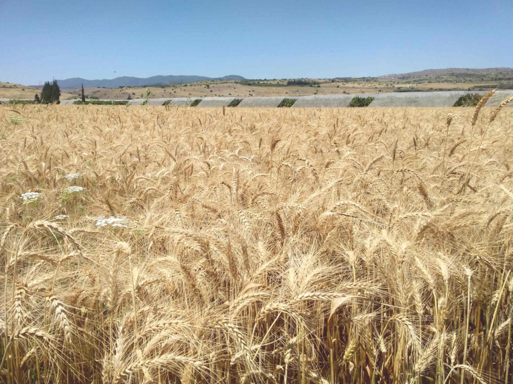 Fields of barley, near the Sea of Galilee, harvest